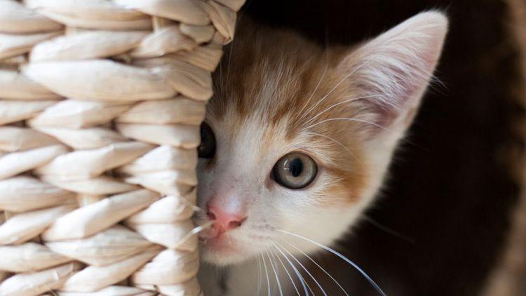 Un gatto in Belgio diventa il primo caso confermato di infezione da  COVID-19 nei felini