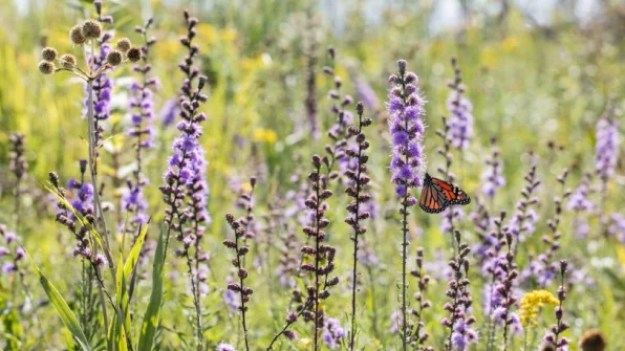 6-big-agriculture-is-trying-to-save-monarch-butterflies-813x457 Big agriculture helped destroy monarch butterfly habitats–now it's trying to save them Inspiration