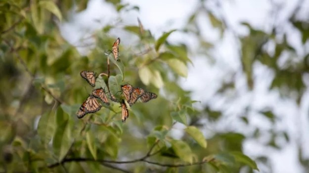 7-big-agriculture-is-trying-to-save-monarch-butterflies-813x457 Big agriculture helped destroy monarch butterfly habitats–now it's trying to save them Inspiration