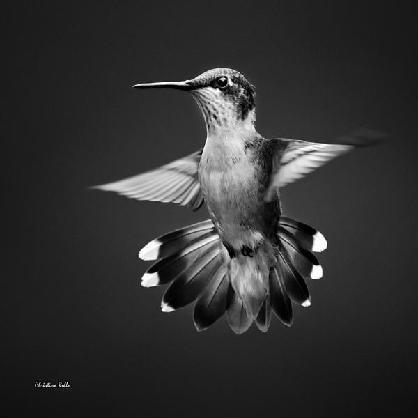 Fantail Hummingbird Square Bw Art Prints for Sale