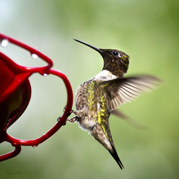 Male Hummingbird On Feeder Art Prints for Sale
