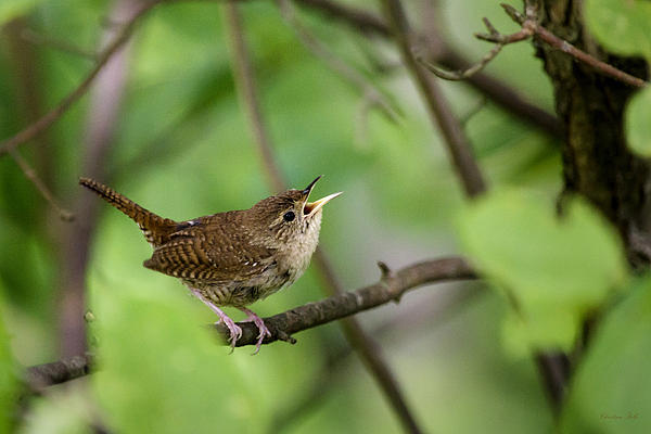 Wild Birds House Wren Art Prints for Sale