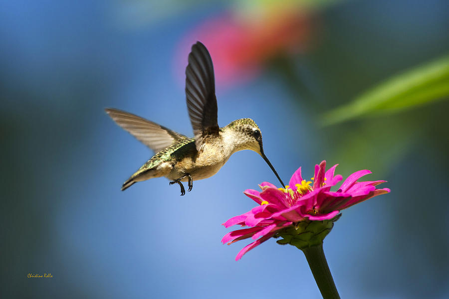 Art Of Hummingbird Flight Canvas Art for Sale