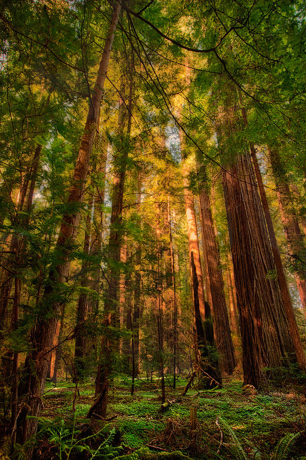 Circle Of Light California Redwoods Painting By Dan Carmichael