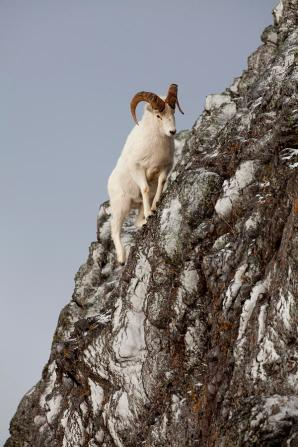 Image result for ram climbing mountain