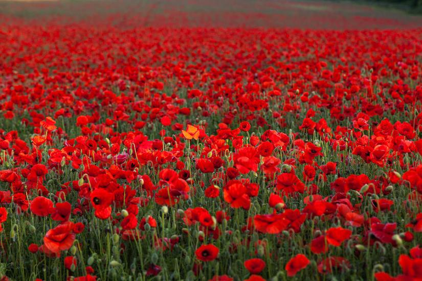 Image result for field of poppies