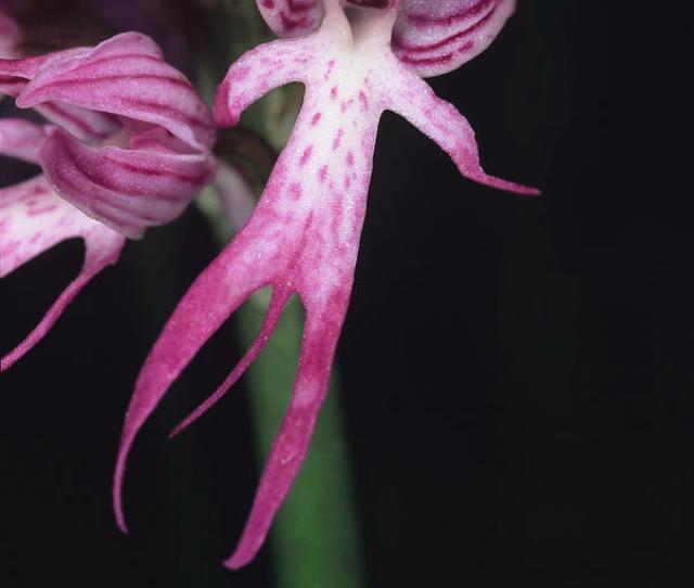 Naked Man Orchid Flower Photograph By Paul Harcourt Davies Science