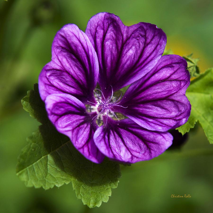 Purple Hollyhock Flower Wwwimgkidcom The Image Kid