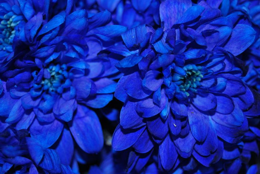 Real Blue Flowers Photograph by Riad Belhimer Flowers Photograph   Real Blue Flowers by Riad Belhimer