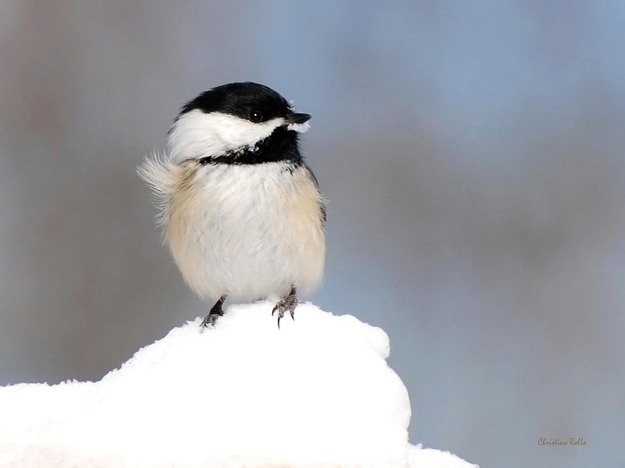 Summit Black-Capped Chickadee Art Prints for Sale