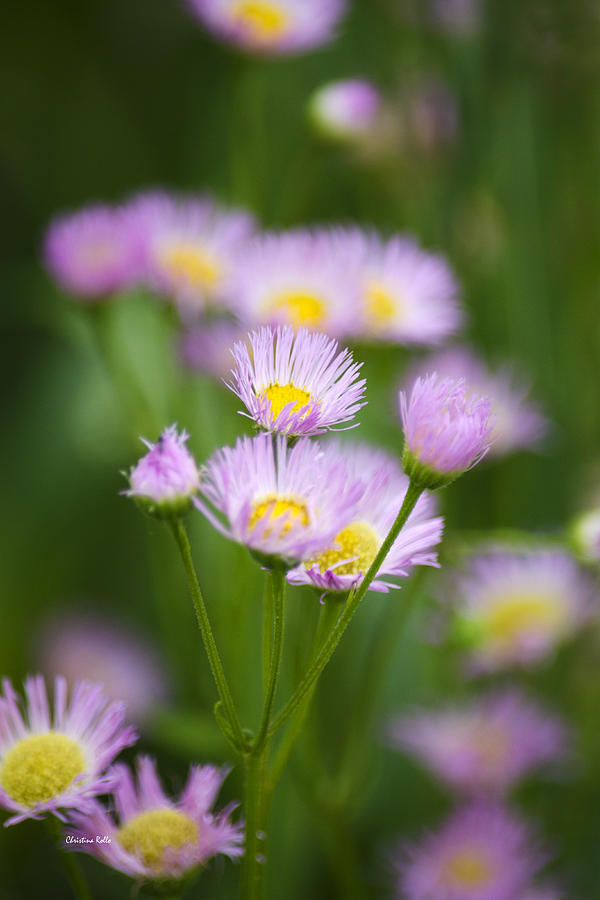 Wildflowers Common Fleabane Art Prints for Sale