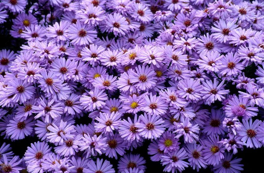 New York Aster Flowers  aster Sp   Photograph by Dr  Nick Kurzenko Michaelmas Daisy Photograph   New York Aster Flowers  aster Sp   by Dr