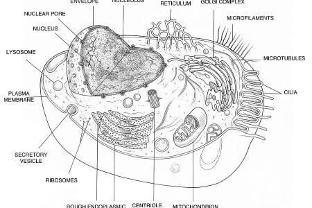 Diagram of animal cell path decorations pictures full path diagram animal cell structure function and types of animal cell animal cell structure diagrams of animal and plant cells plants and animals social ccuart Images