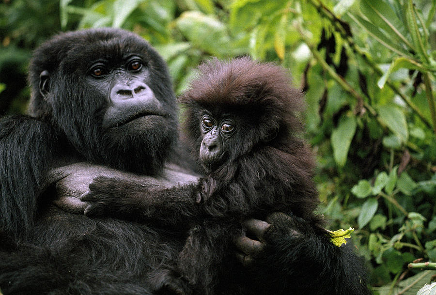 https://i1.wp.com/images.fineartamerica.com/images-medium-large/a-female-mountain-gorilla-and-her-child-michael-nichols.jpg