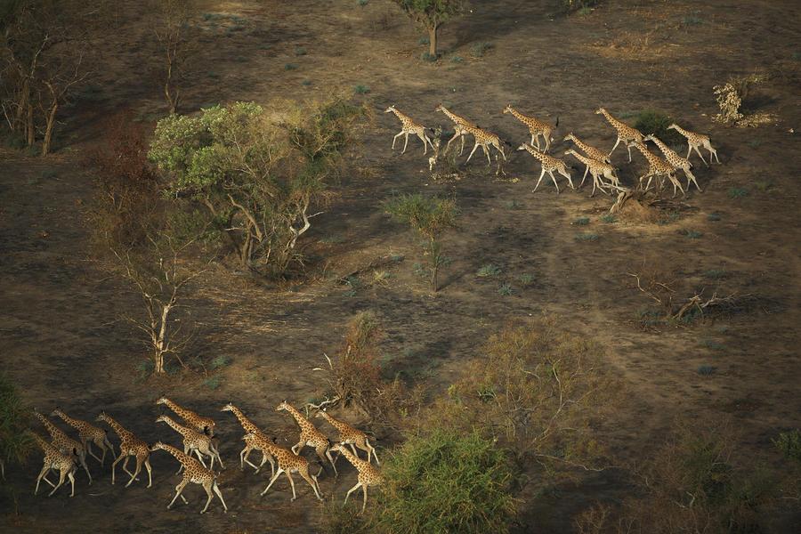 Image result for giraffes running