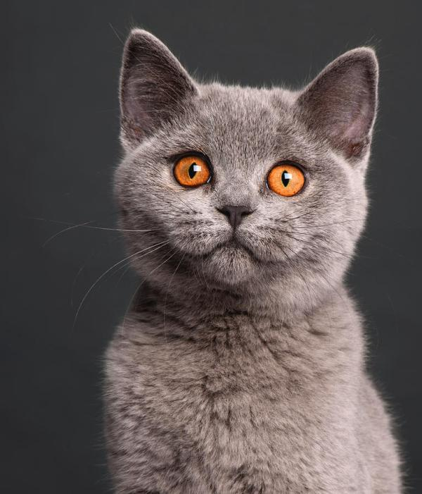 British Shorthair Kitten (3 Months Old) Photograph by Life ...