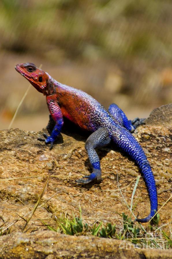 Colorful Lizard Digital Art By Pravine Chester