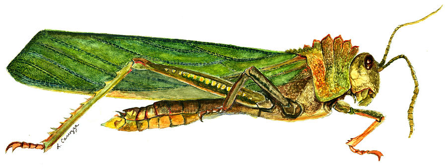 Grasshopper - Saltamontes