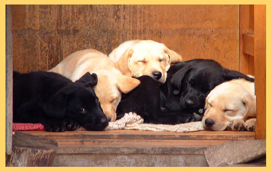 Labrador Puppies Sleeping Photograph By Richard James Digance
