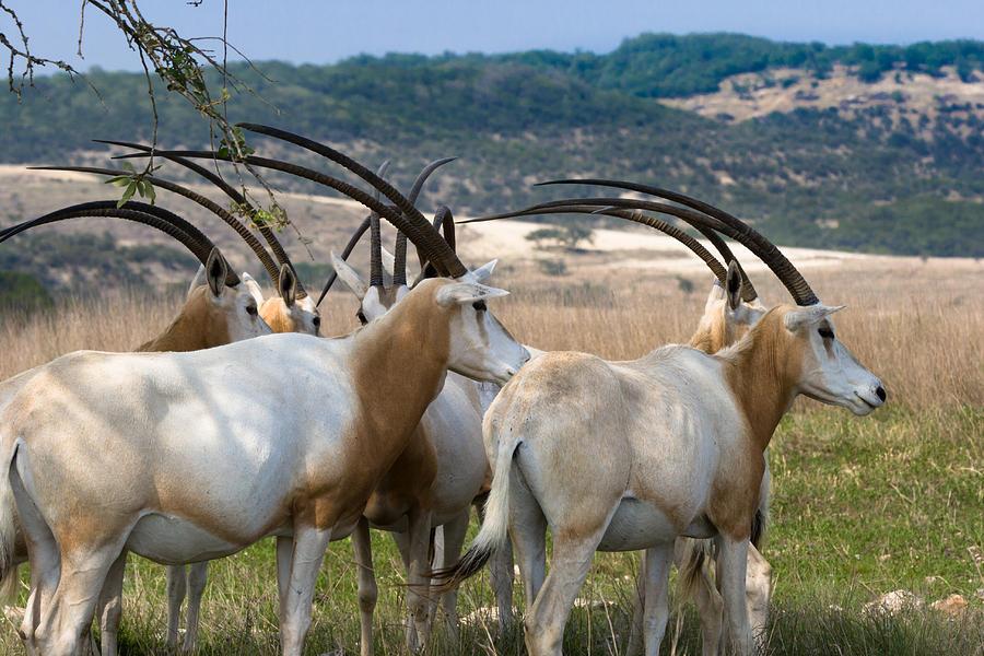 https://i1.wp.com/images.fineartamerica.com/images-medium-large/scimitar-horned-oryx-ed-gleichman.jpg