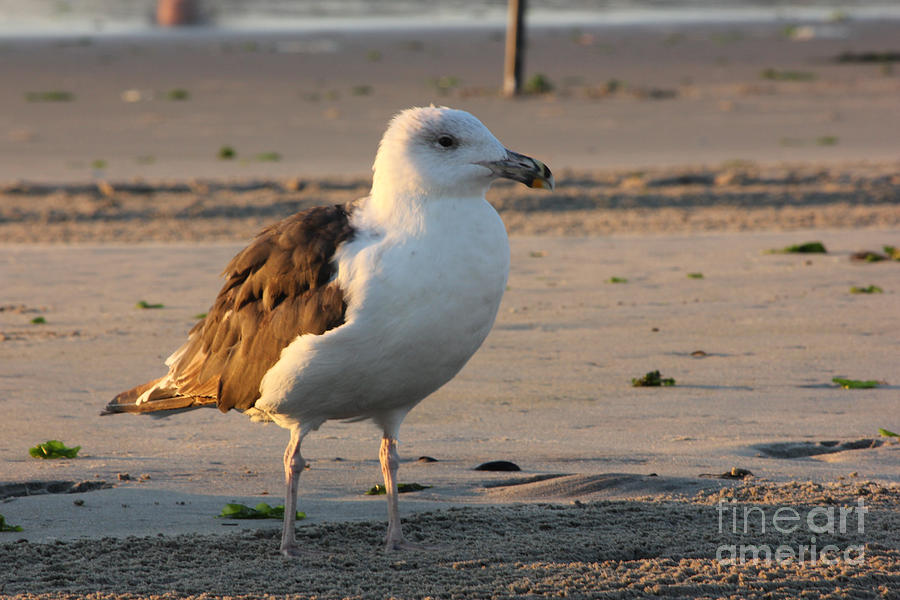 Seagull Beach Ocean Seaview Oceanview Beaches Photos Pictures Buy Sell Selling Gallery Photo New