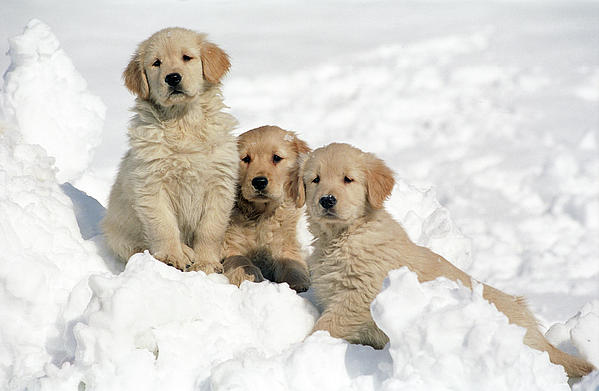 Golden Retriever Puppies In Snow Greeting Card For Sale By