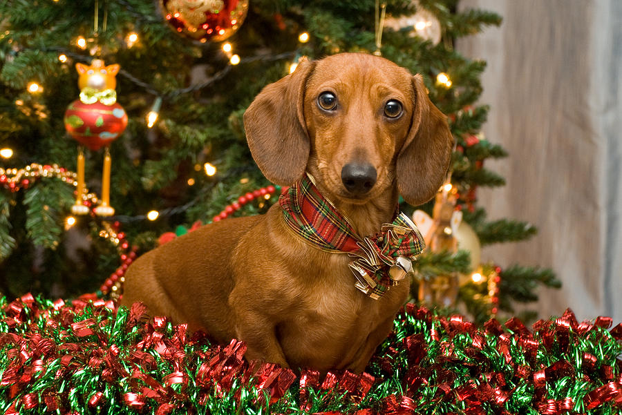 Christmas Red Dachshund Photograph By Mary Griffin