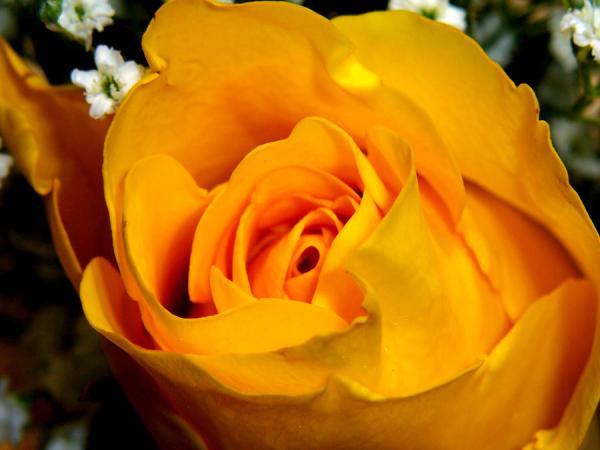 Dark Yellow Rose Photograph by Johann Todesengel