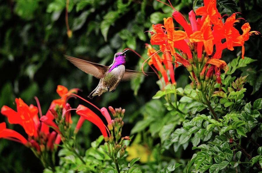 hummingbird feeding on cape horn honeysuckle