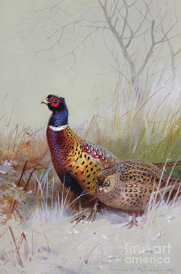 Pheasants In The Snow Painting By Archibald Thorburn