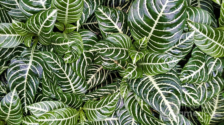 Prayer Plant Maranta Photograph By Jessica T Hamilton