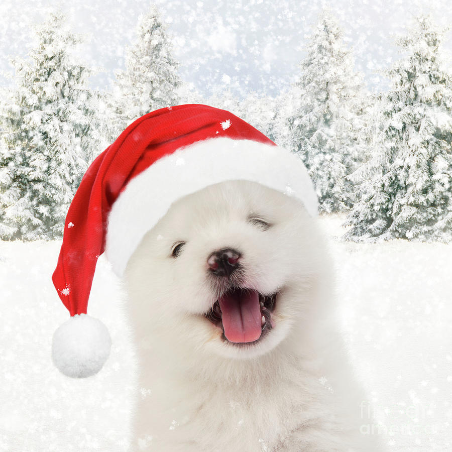 Samoyed Puppy Wearing Christmas Hat Photograph By Mary