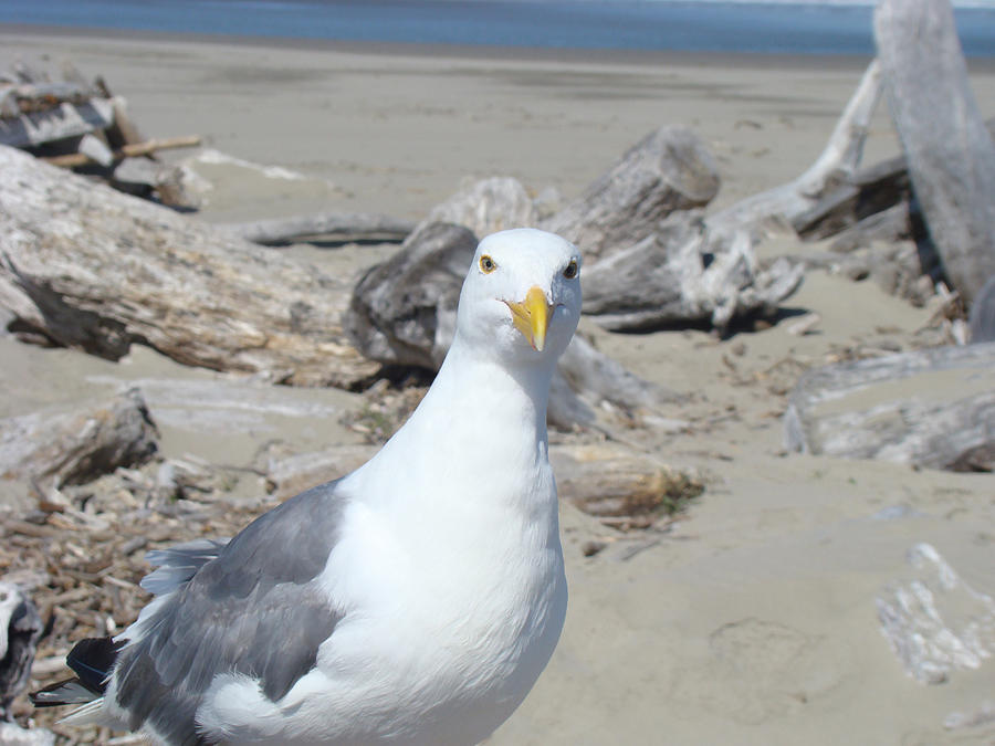 Seagull Bird Art Prints Coastal Beach Driftwood Photograph By Baslee Troutman
