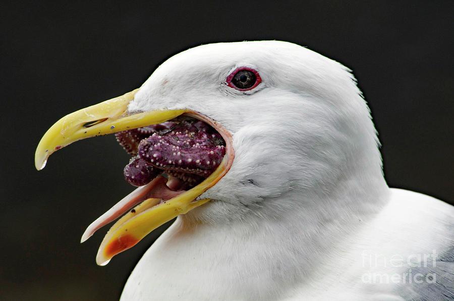 Seagull Eating Starfish Photograph By Sean Stauffer