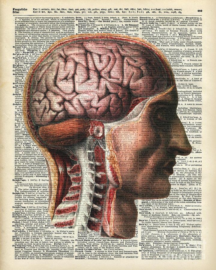 Vintage Human Brain Anatomy Drawing by Anna W
