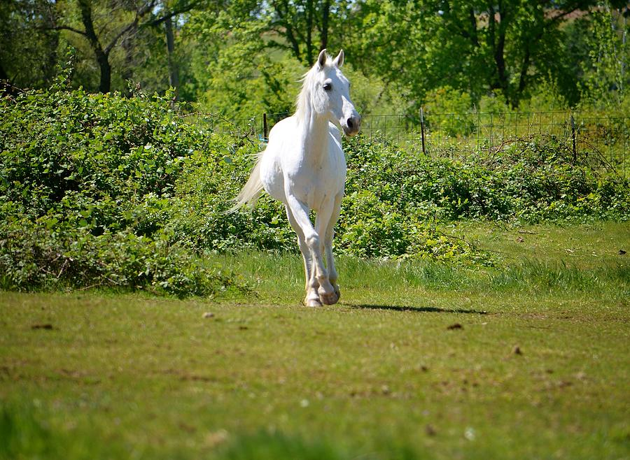 White Arabian Horse Photograph by Maria Jansson