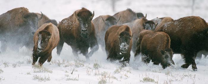 Wild Bison Stampede Photograph by Mark Miller