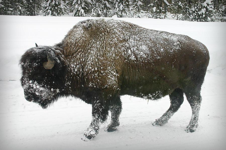 Winter Buffalo Photograph By Patricia Montgomery