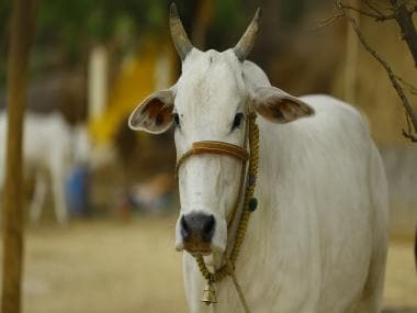indian cow 2579534 1280