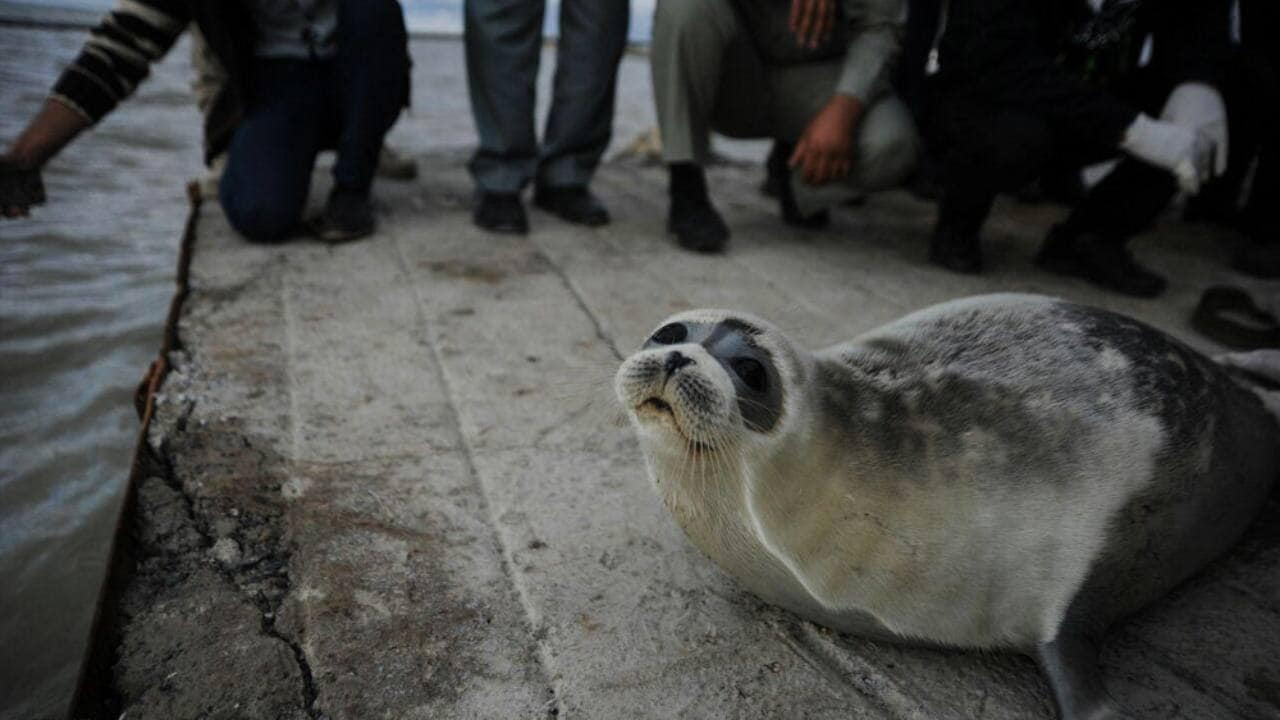 Mysterious mass die-off of endangered Caspian seals in Moscow shores under investigation- Technology News, Gadgetclock
