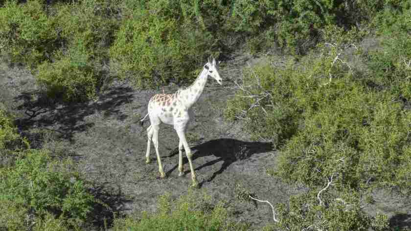 White giraffe in Kenya fitted with GPS tracking device in an effort to keep poachers at bay