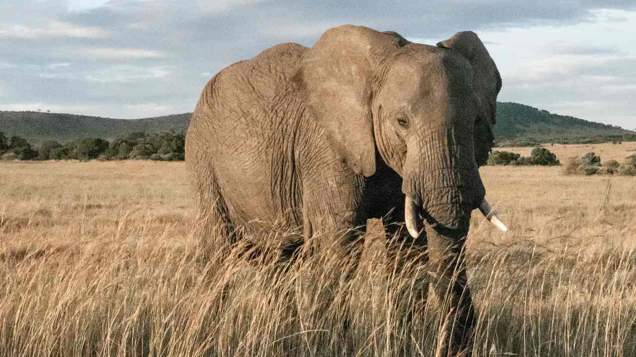 African elephants make it to the IUCN's red list due to poaching, shrinking populations- Technology News, Gadgetclock