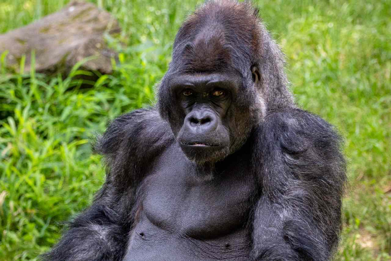Gorillas' chest thumping allows females, rivals know their size without seeing them- Technology News, Gadgetclock