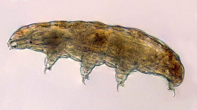 Cell Science-04 flies tardigrades, or water bears, to the space station for a study seeking to identify the genes involved in its adaptation and survival in high stress environments. Credits: Thomas Boothby, University of Wyoming/NASA