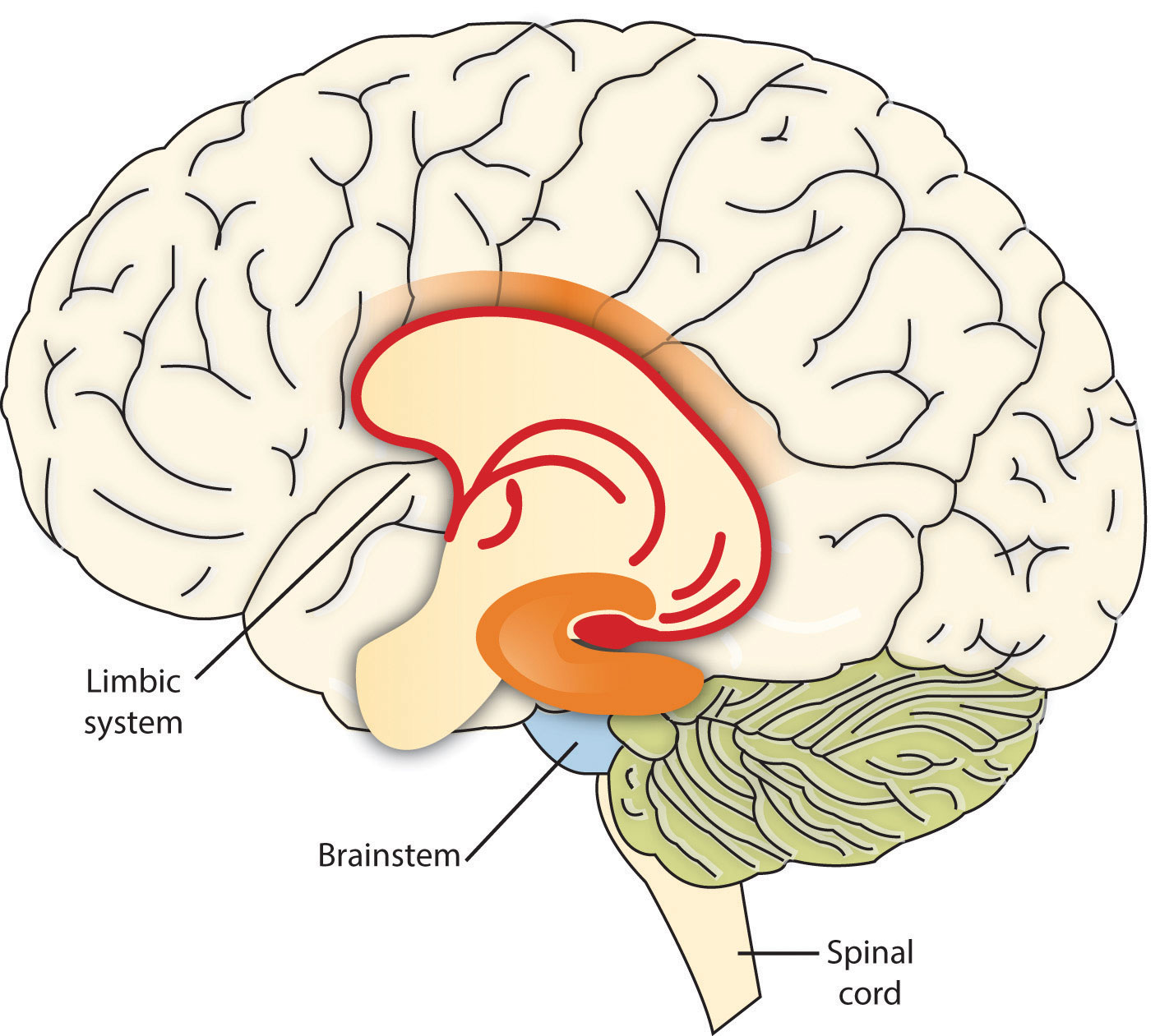 Structures Of The Limbic System