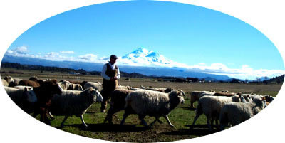 patrick with his flock, makeing wool for FloBeds Latex Mattresses