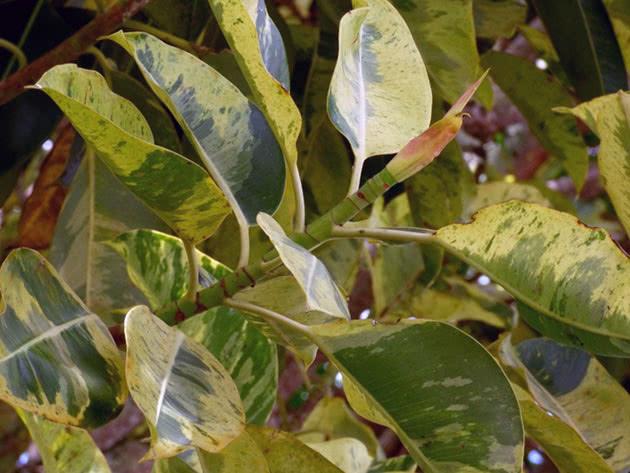 Ficus серпімді немесе серпімді