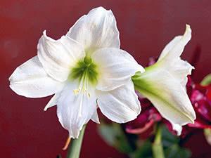 Flori Hippeastrum.