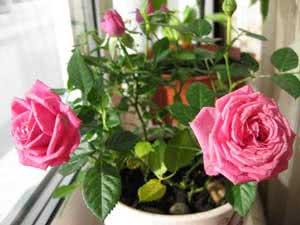 Уход за комнатной розой – пересадка и болезни; комнатная ...