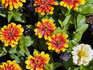 Цветок циния: уход и посадка в открытый грунт, фото ...